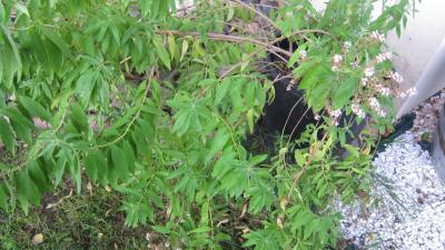 Photo : Plant de verveine