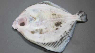 Turbot, face inférieure blanche