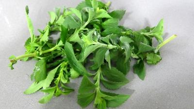 Photo : Stevia à l'état naturel