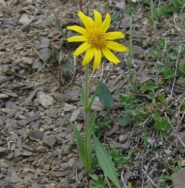 Arnica augustifolia