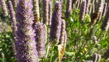 Photo : Agastache anisée
