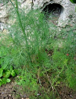 Photo : Un plant d'aneth