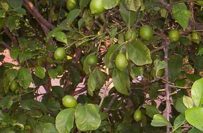 citronnier vert