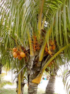 Photo : Noix de coco sur le cocotier