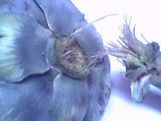 briser l'artichaut