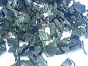 Salade aux pignons - 4.3