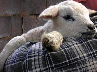 agneau de lait
