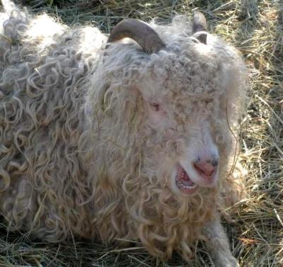 chèvre de mongolie
