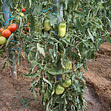 Tomates Andes