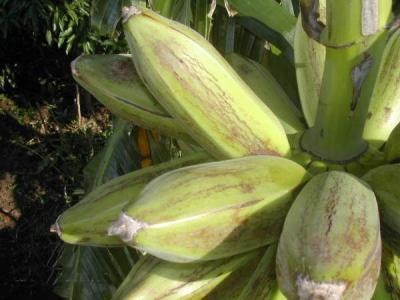 bananes carrés