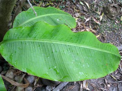 feuille bananier