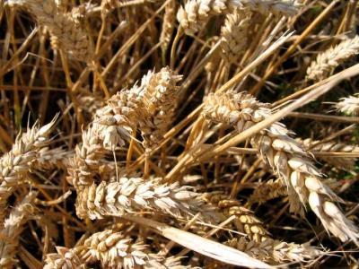 Photo : Des épis de blé