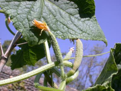 Photo : Plant de cornichons