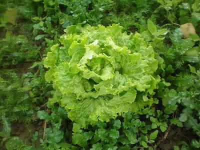 Photo : Salade batavia
