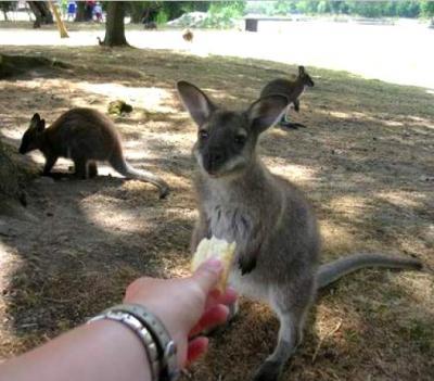 petit kangourou