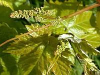 Sarments et rameaux de vignes
