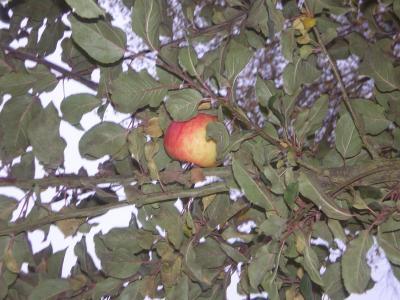 Pommes marie-Madeleine