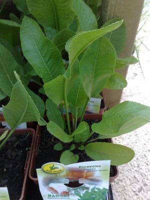 plante raifort